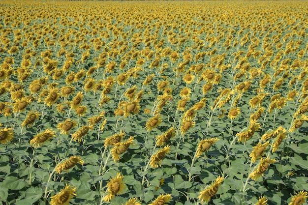 Piękne żółte kwiaty na polach.