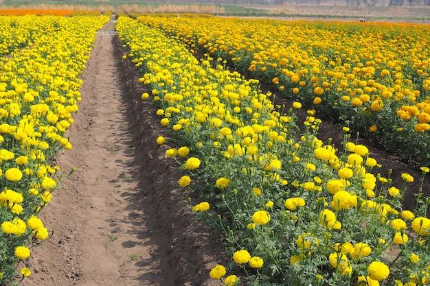 Piękne żółte kwiaty nagietka z zielonymi liśćmi w ogrodzie kwiatowym