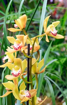 Piękne żółte kwiaty orchidei