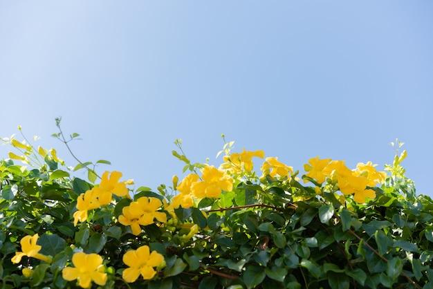Piękne żółte kwiaty z zielonymi liśćmi przeciw błękitne niebo latem