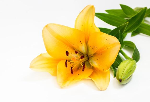 Piękne żółte lilie, na białym tle