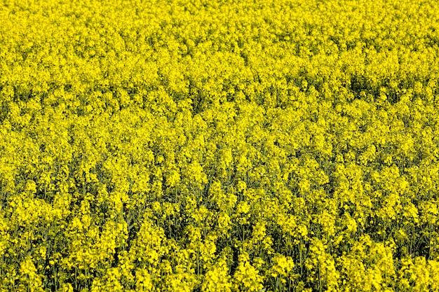 Piękne żółte przyjemne i pachnące kwiaty rzepaku w okresie wiosennym, piękna przyroda i przyjemne aromaty z pola z rzepakiem, dziedzina rolnictwa