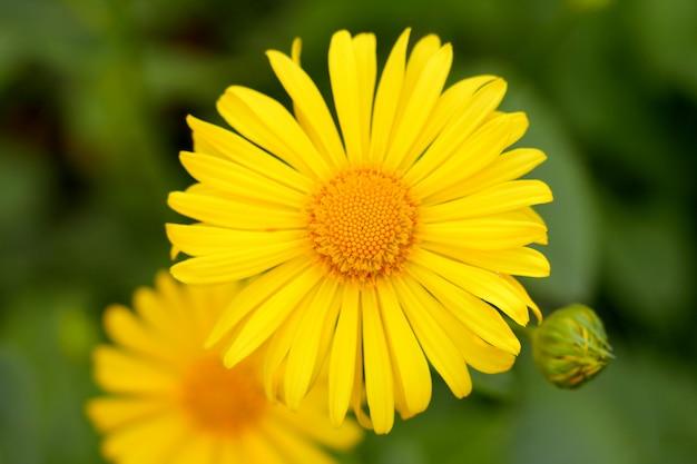 Piękne żółte stokrotki