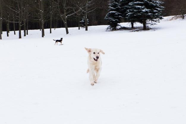 Piękne zwierzaki, duży golden retriever bawiący się na zimowym spacerze w śniegu