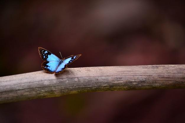 Piękne zwierzę kolorowy motyl niebieski