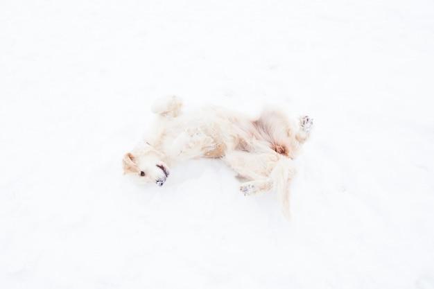 Piękne zwierzęta domowe - duży golden retriever zabawy na zimowym spacerze w zaśnieżonym parku