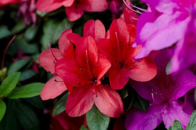 Piękne żywe drzewo azalii kwitnące w ogrodzie botanicznym w kijowie. jasne kwiaty z bliska. botaniczny kartkę z życzeniami.