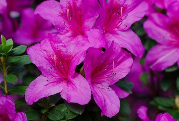 Piękne żywe Drzewo Azalii Kwitnące W Ogrodzie Botanicznym W Kijowie. Jasne Kwiaty Z Bliska. Premium Zdjęcia