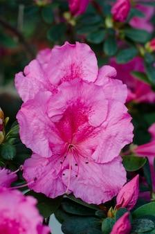 Piękne żywe drzewo azalii kwitnące w ogrodzie botanicznym w kijowie. jasne kwiaty z bliska.