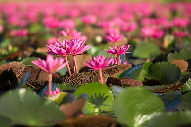 Pięknego natura krajobrazu czerwony lotosowy morze w ranku, tajlandia