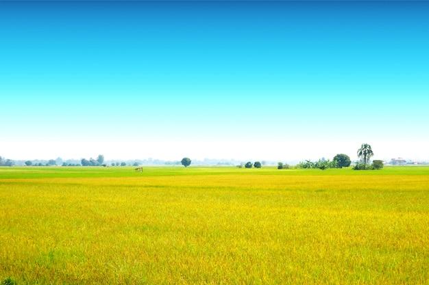 Pięknego rolnictwa ryż jaśminowy gospodarstwo rolne i miękka mgła w ranku jasnego niebieskie niebo bielu chmurze