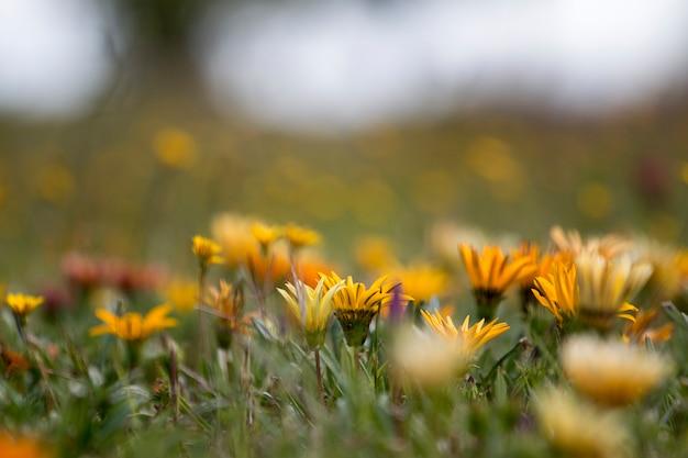 Pięknej wiosny afrykańskiej stokrotki kwiaty