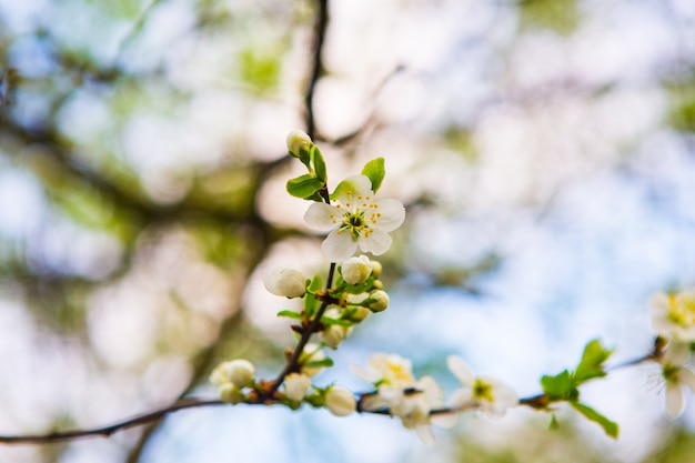Piękni biali kwiaty jabłoń w ogródzie. wiosna kwitną na gałęziach