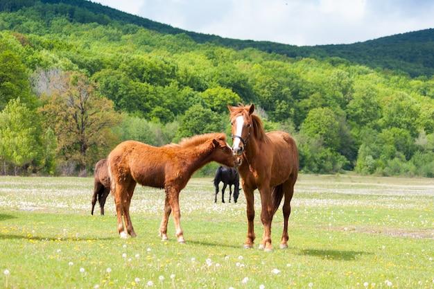 Piękni brown i czarni konie je trawy i pasa w łące i zieleni polu.