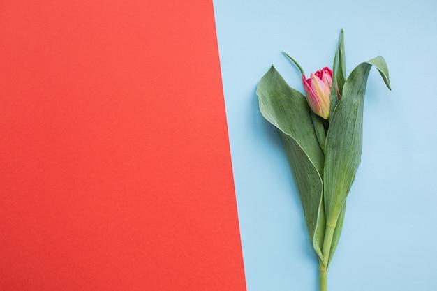 Piękni czerwoni tulipany na stubarwnych papierowych tło z kopii przestrzenią.