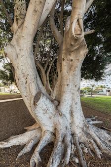 Piękni drzewa przy parkiem w puerto rico w granie canaria, hiszpania.