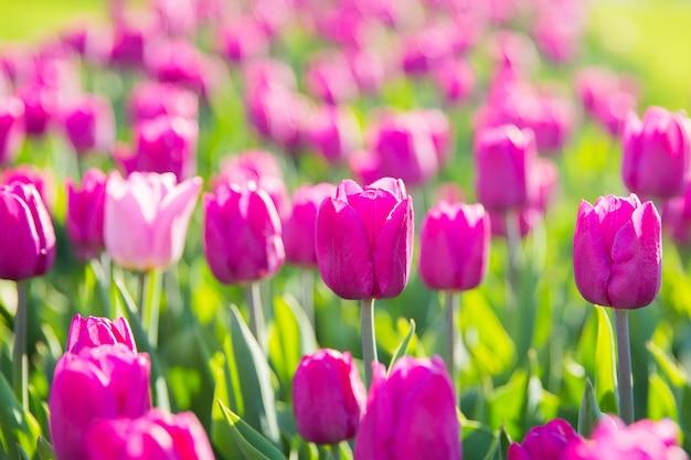 Piękni fiołkowi tulipany w ogródzie. kwiaty na dzień kobiet