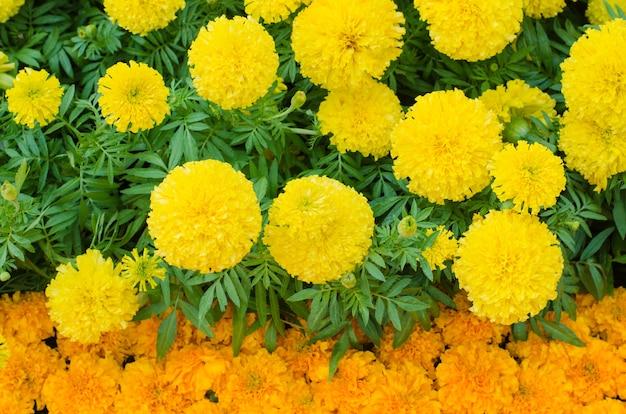 Piękni i świezi żółci meksykańskiego nagietka pączka kwiaty