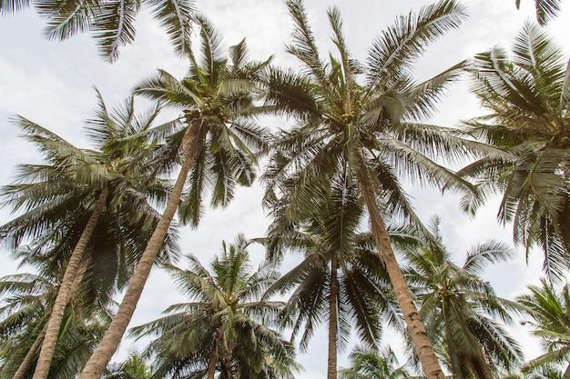 Piękni kokosowi drzewka palmowe i niebo w rolnictwa gospodarstwie rolnym przy tajlandia