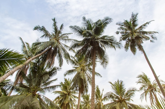 Piękni kokosowi drzewka palmowe i niebo w rolnym gospodarstwie rolnym przy tajlandia