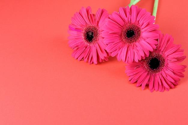 Piękni kwitnienie różowi gerberas na różowym tle, kopii przestrzeń.