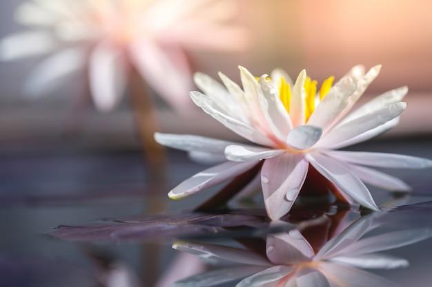 Piękni lotosowi kwiaty w naturze.