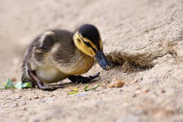 Piękni potomstwa nurkują na powierzchni staw. przyroda w słoneczny letni dzień. młody ptak wodny.