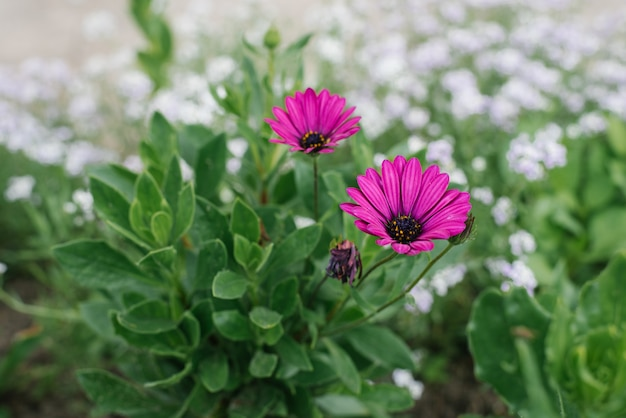 Piękni purpurowi kwiaty kwitną w ogródzie