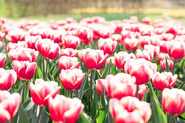 Piękni różowi i biali tulipany kwitną w parkowym wiosny natury tle