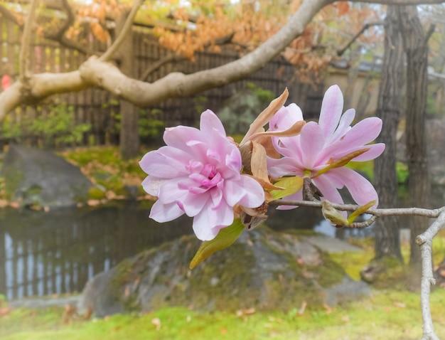 Piękni różowi peonia kwiaty, japonia, selekcyjna ostrość