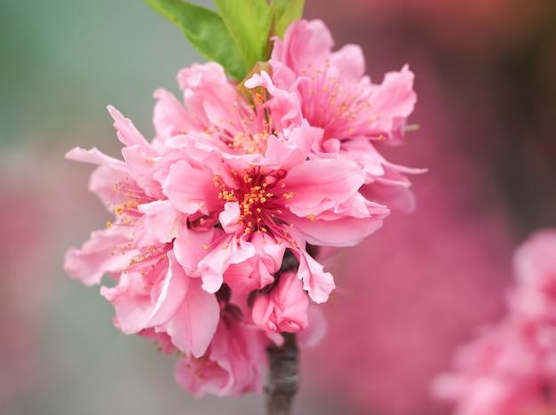 Piękni różowi sakura kwiaty w japonia, selekcyjna ostrość (hikanzakura)