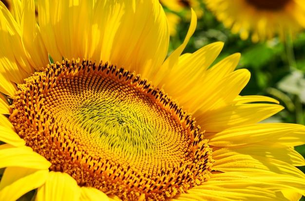 Piękni słoneczniki w polu naturalnym