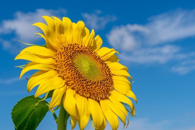 Piękni słoneczniki w polu