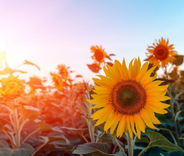 Piękni słoneczniki w śródpolnym naturalnym tle, słonecznikowy kwitnienie.