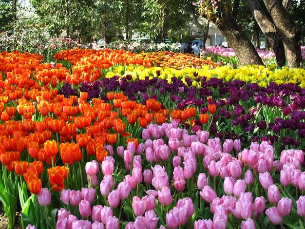 Piękni tulipanów kwiaty kwitnie w ogródzie