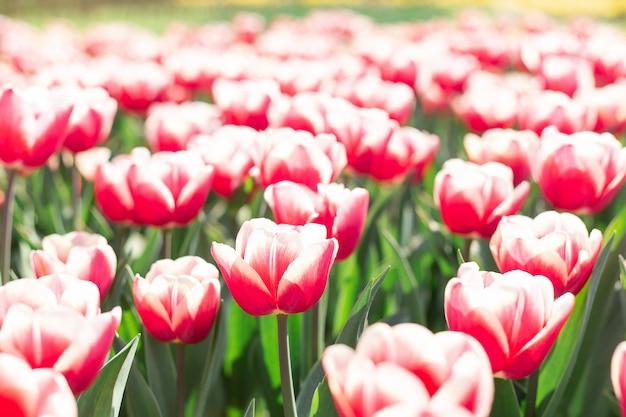 Piękni wiosna tulipany kwitną w parku w słonecznym dniu