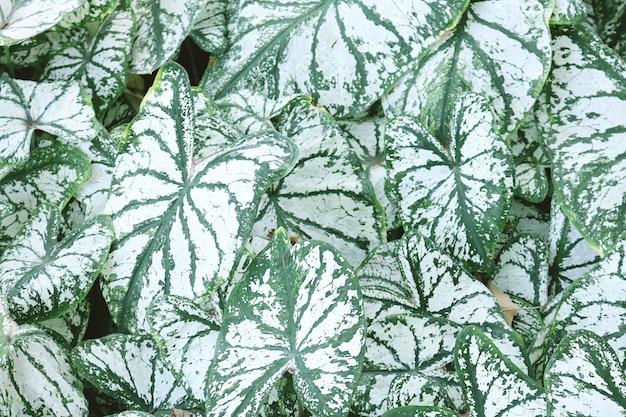 Piękni zieleni liście caladium roślina