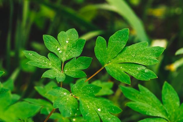 Piękni żywi zieleni liście dicentra z rosa kropel zakończeniem z copyspace. czysta, przyjemna, ładna zieleń z kroplami deszczu w słońcu. tło z zielonych roślin teksturowanych w deszczu. trawa.