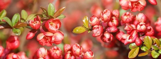 Pięknie kwitnąca wiśnia japońska sakura