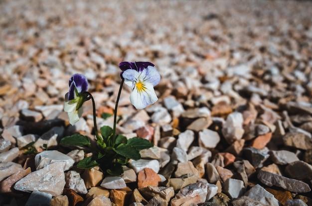 Pięknie kwitnące dzikie kwiaty bratka