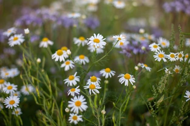 Pięknie kwitnące stokrotki na polu