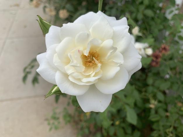 Pięknie rozkwitła biała róża w ogrodzie