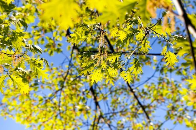 Pięknie rozświetlone liście dębu i kwiatostany drzewa w okresie kwitnienia
