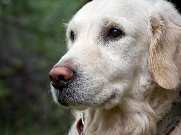 Piękno golden retriever pies na trawie