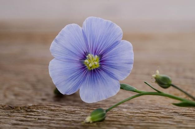 Piękno kwiat lnu