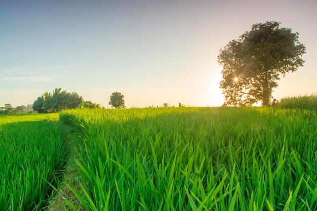Piękno pól ryżowych z własnymi drzewami i zielonym ryżem i słońcem w północnym bengkulu w indonezji