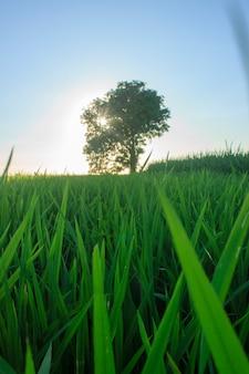 Piękno pól ryżowych z własnymi drzewami i zielonym ryżem