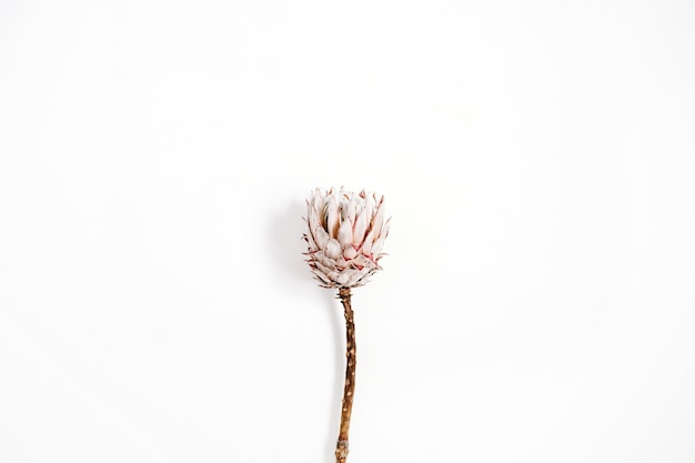 Piękno protea kwiat na białym tle.