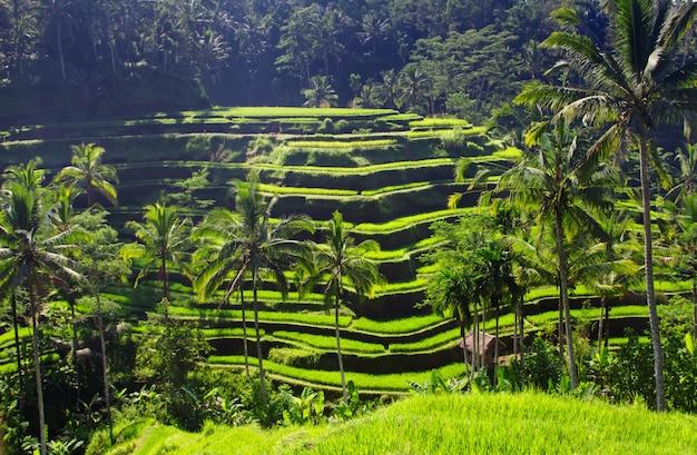 Piękno taras ryżowy
