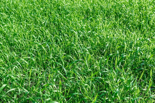 Piękno tkwi w naturze pole z zieloną bujną trawą jako naturalnym tłem